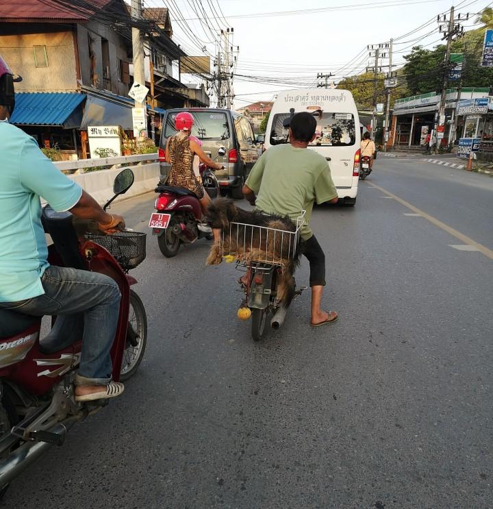 Skootterin kyydissä kulkee helposti niin ihmiset, kuin eläimetkin. #vainthaimaajutut